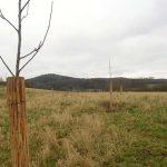Gegen Wildverbiss geschützte Walnussbäume.
